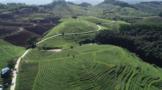 海南一茶企再获日本美国有机食品认证