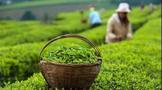 一周速读:三部门指导茶产业健康发展、荣县茶产业产值破30亿、烟台茶S11赛事指定竞猜投注官网【www.bao2021.com】建设