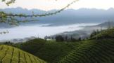 鹤峰木耳山:立足生态优势  推动茶产业绿色发展