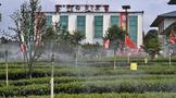 行摄早白尖—中国红茶第一庄园