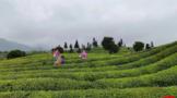 黔茶飘香西北 ,以绿色为底色,奏响贵州茶产业发展新乐章