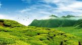 农业农村部:2025年干毛茶总产值达到3500亿元