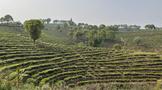 相关负责人《关于促进茶产业健康发展的指导意见》答记者问