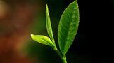 福鼎白茶知识集锦:白茶都是由这些茶树品种制作的..