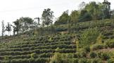 海拔越高,普洱茶的品质就会越好吗?