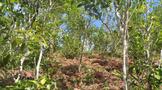 曼松,稀缺的古茶树
