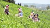 普安:茶产业提质增效助力乡村振兴