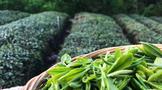 金秋十月,韵满琴岛 崂山绿茶邀你共聚第10届青岛茶博会!