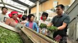 云南绿春:农科专家送科技下乡 茶农得实惠