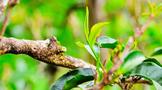 茶林和谐共生 绘就拉祜山寨美丽新画卷