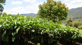 普洱茶产地的地理气候有什么特征?