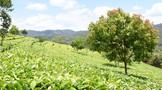 有人說,我們喝的茶都是打過農藥的,打過農藥的茶你還敢喝嗎?
