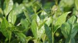 全球十大茶文化,你了解哪幾個?