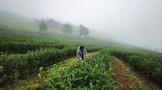 """茶旅天下:劍川縣在海拔2900米的""""云端""""種茶"""
