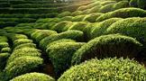 涇渭茯茶有機茶葉基地——白巖茶山