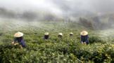 涇縣:大力發展茶產業 助推鄉村振興