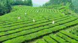 苍梧力争2023年进入全国产茶县前20名