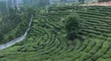 """阳台山村:聚焦茶产业 打造""""一村一品""""特色产业村"""