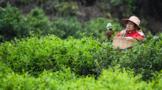潮州市:提升茶产业经济活力 促进茶产业转型升级
