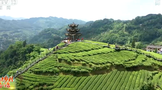 宣恩伍家台村:打造茶文化旅游区 茶香园美产业兴