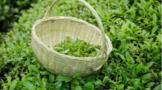 茶叶采摘之后,茶农如何进行管理?追肥和灌溉是关键