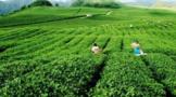 """印江:""""龙头企业+""""助力茶产业增产增效"""