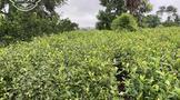 """茶树""""棒棒虫""""——茶尺蠖的防治方法"""