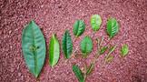 彩农茶:云南大叶种