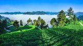 """2021湖南茶叶乡村振兴""""十大领跑品牌""""之湘西黄金茶:致富新钥匙, 湘西黄金茶"""