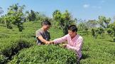 """博罗柏塘""""80后""""兄弟回乡创业,这里成了茶叶专业村"""